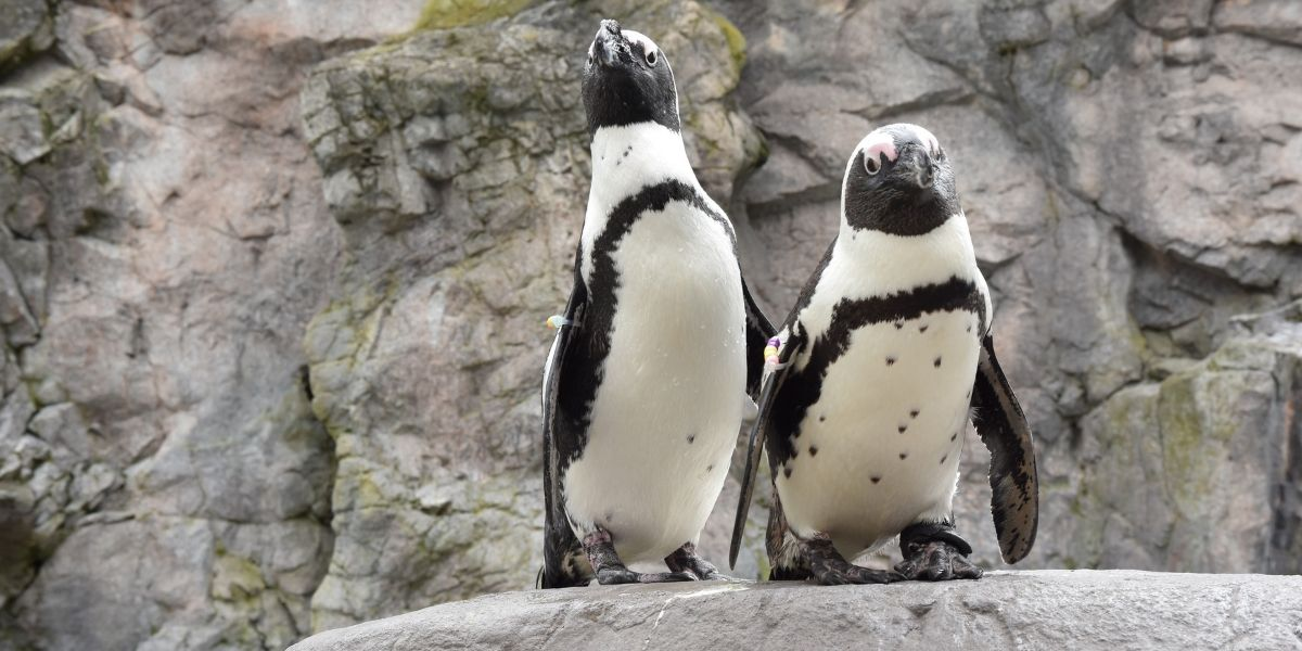 Turning the Tides on African Penguin Extinction
