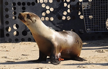 Sea Lion Tagging