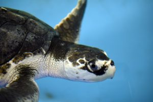 Resolution, a Kemps Ridley sea turtle