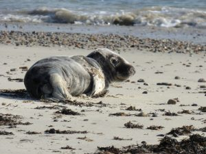 stranded grey seal pup
