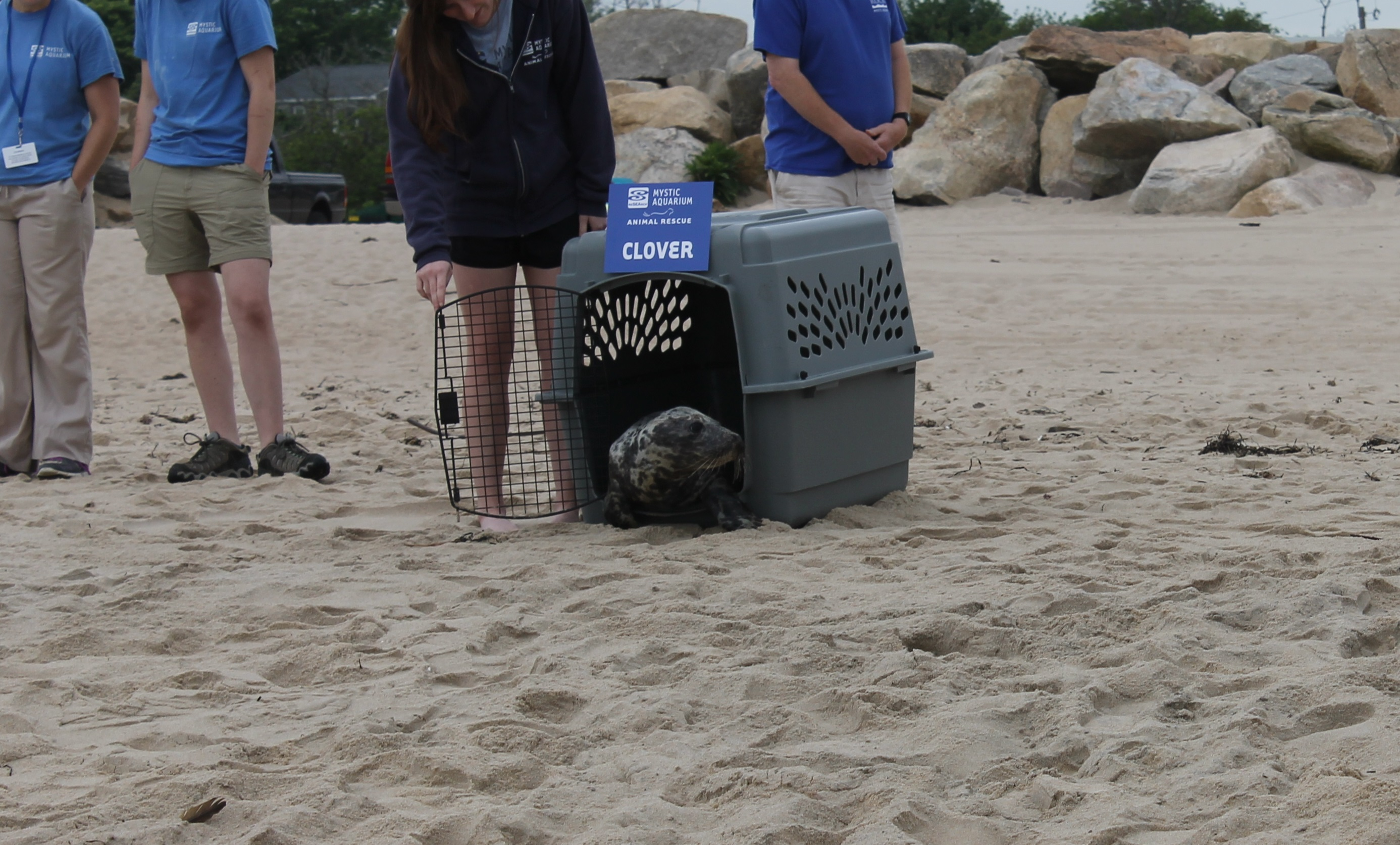 REHABBED GRAY SEAL RELEASED BY MYSTIC AQUARIUM'S ANIMAL RESCUE PROGRAM