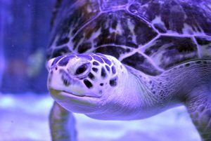 Charlotte green sea turtle