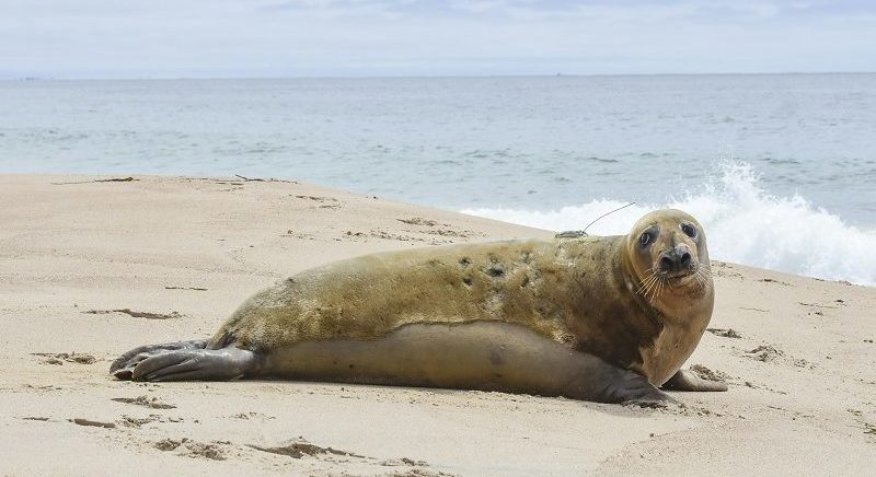 First Ever Adult Gray Seal Release a Success for Mystic Aquarium's Animal Rescue Program