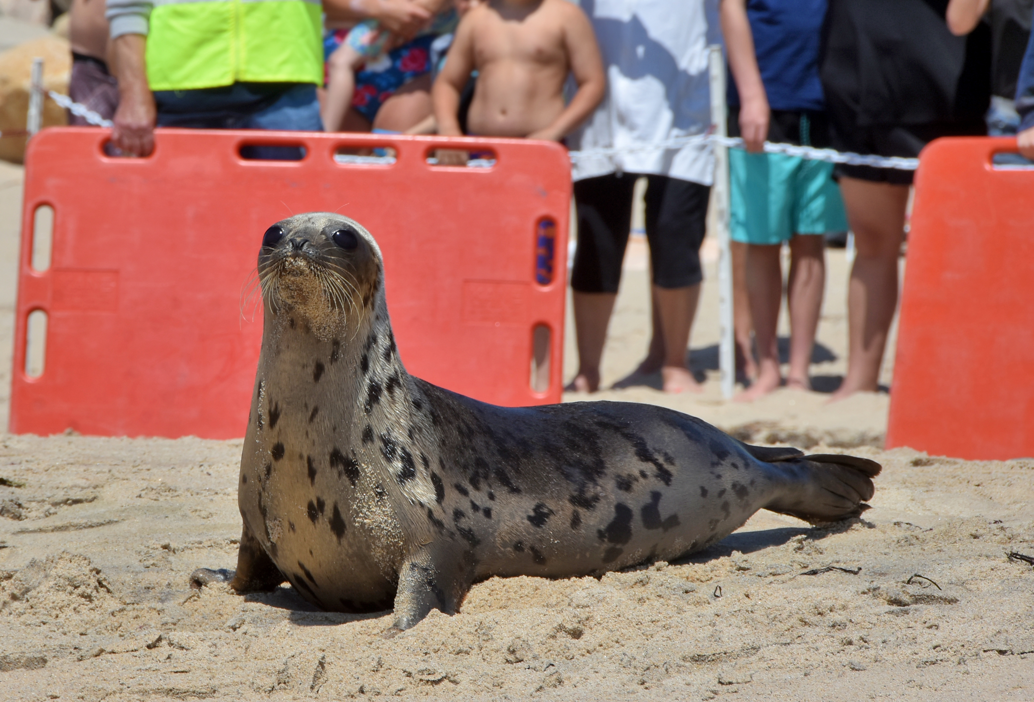 Seal Rescued with Stomach Full of Rocks Released by Mystic Aquarium's Animal Rescue Program