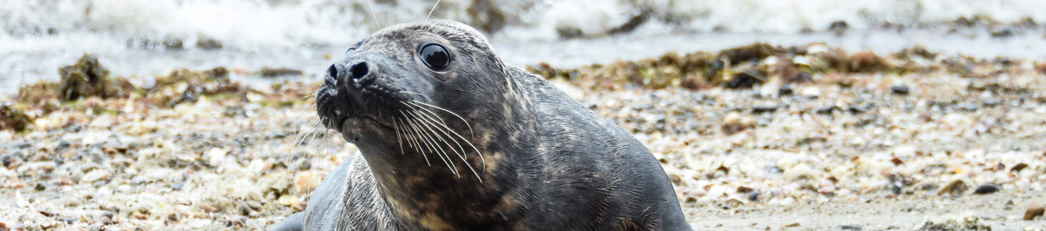 Rain Fall Didn't Stop Animal Rescue Team from Releasing Rehabbed Seal