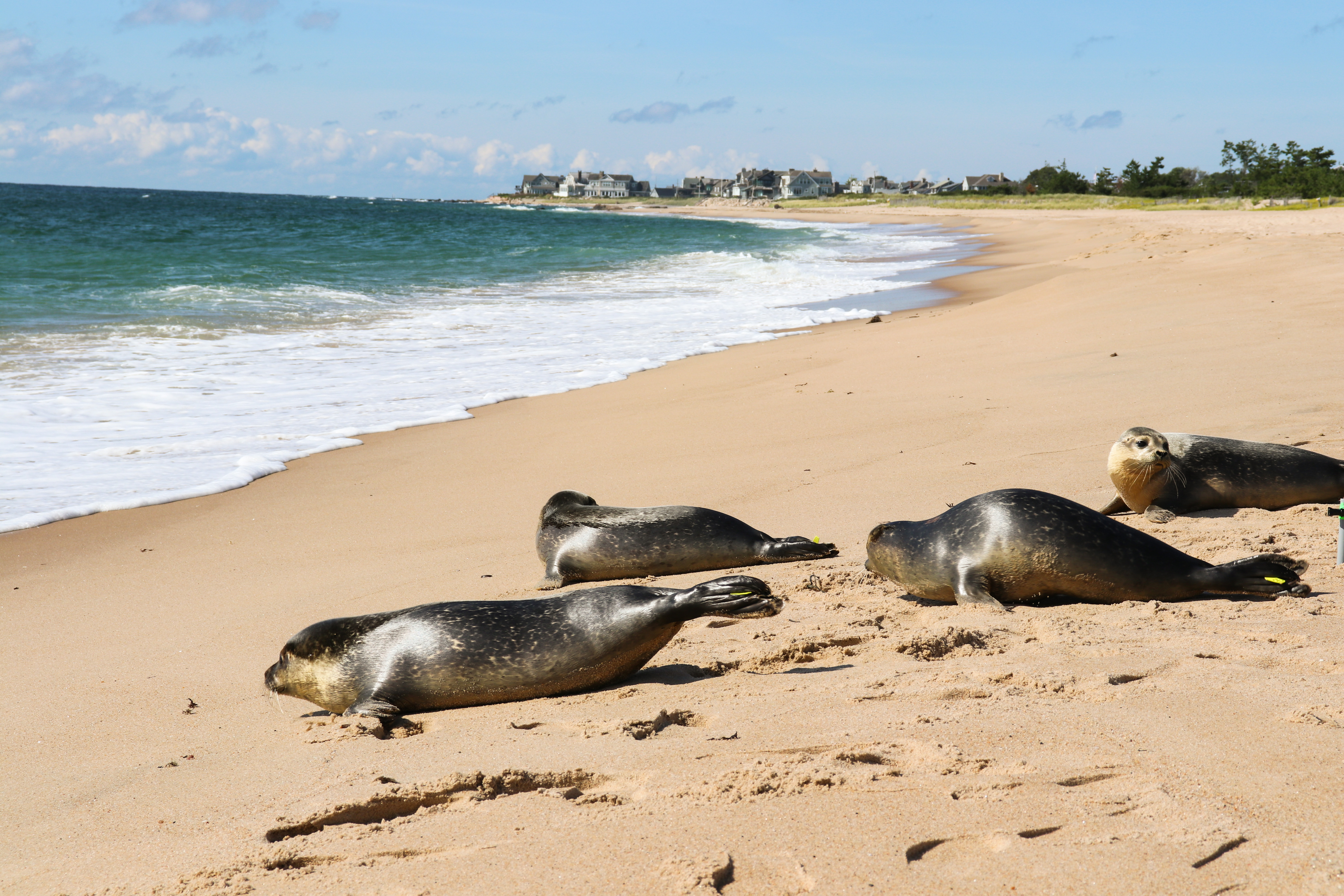 Friday the 13th Lucky Day for Four Harbor Seals Thanks to Mystic Aquarium's Animal Rescue Program