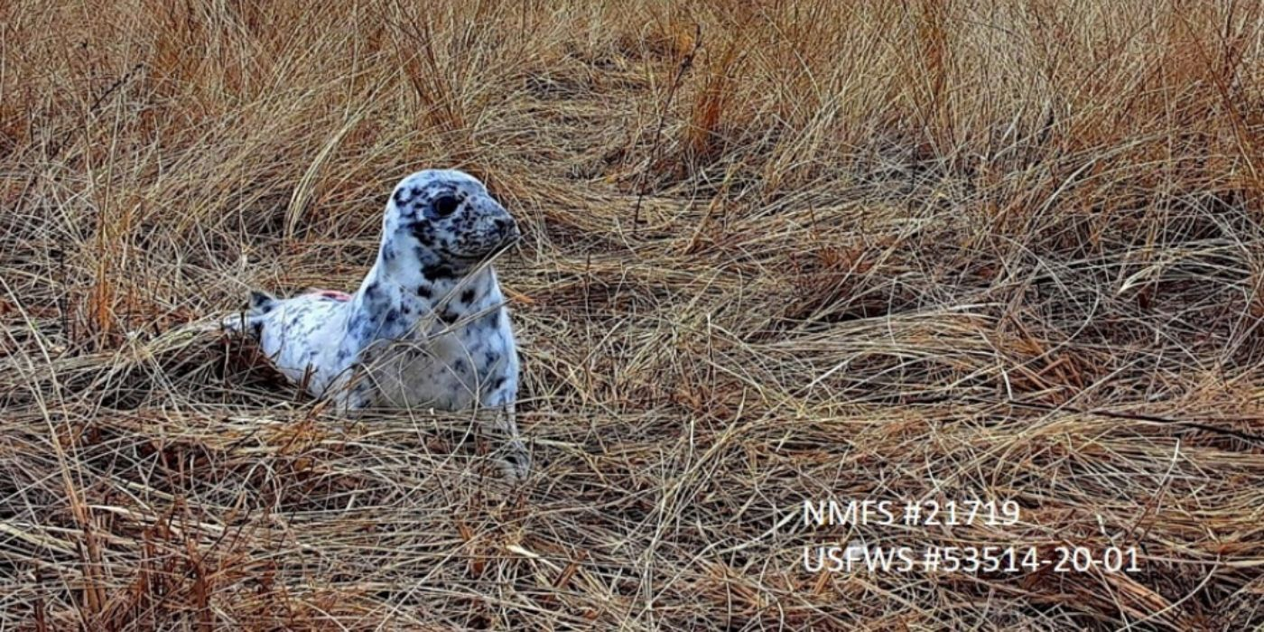 Field Research: Gray Seal Pup Assessments – Part 2