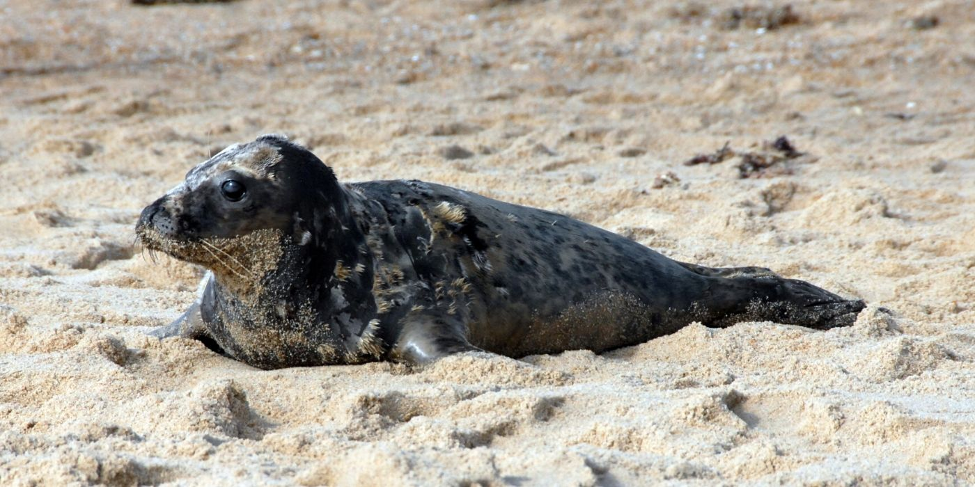 Field Research: Gray Seal Pup Assessments – Part 1