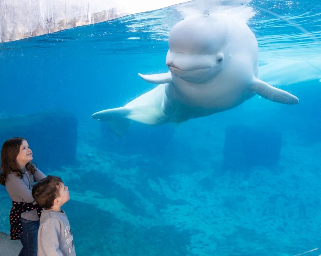 Beluga with guest